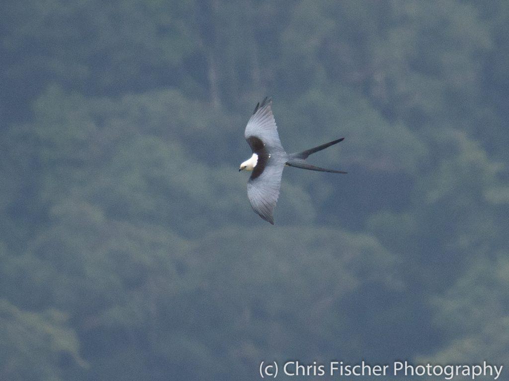 Swallow-tailed Kite, Bosque del Tolomuco, Costa Rica