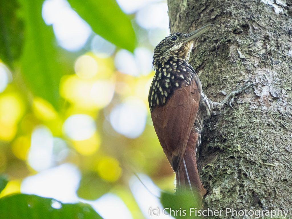 Black-striped Woodcreeper, Esquinas Rainforest Lodge, Costa Rica