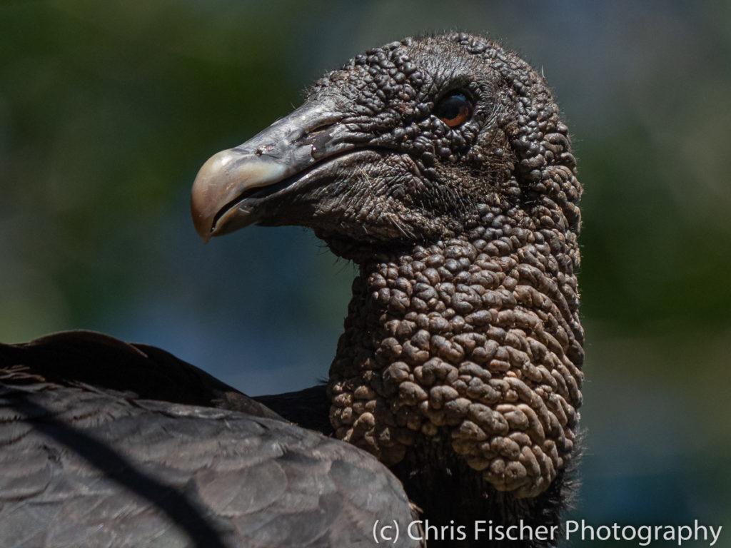 Black Vulture, Río Panica, Costa Rica