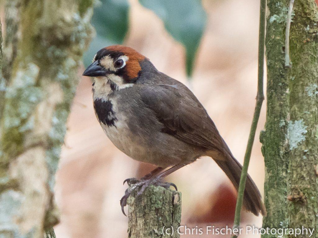 Cabanis's Ground-Sparrow, Ujarras, Costa Rica