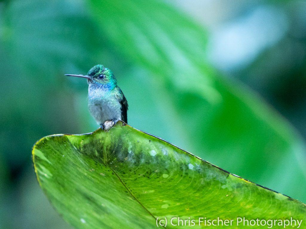 Charming Hummingbird, Esquinas Rainforest Lodge, Costa Rica