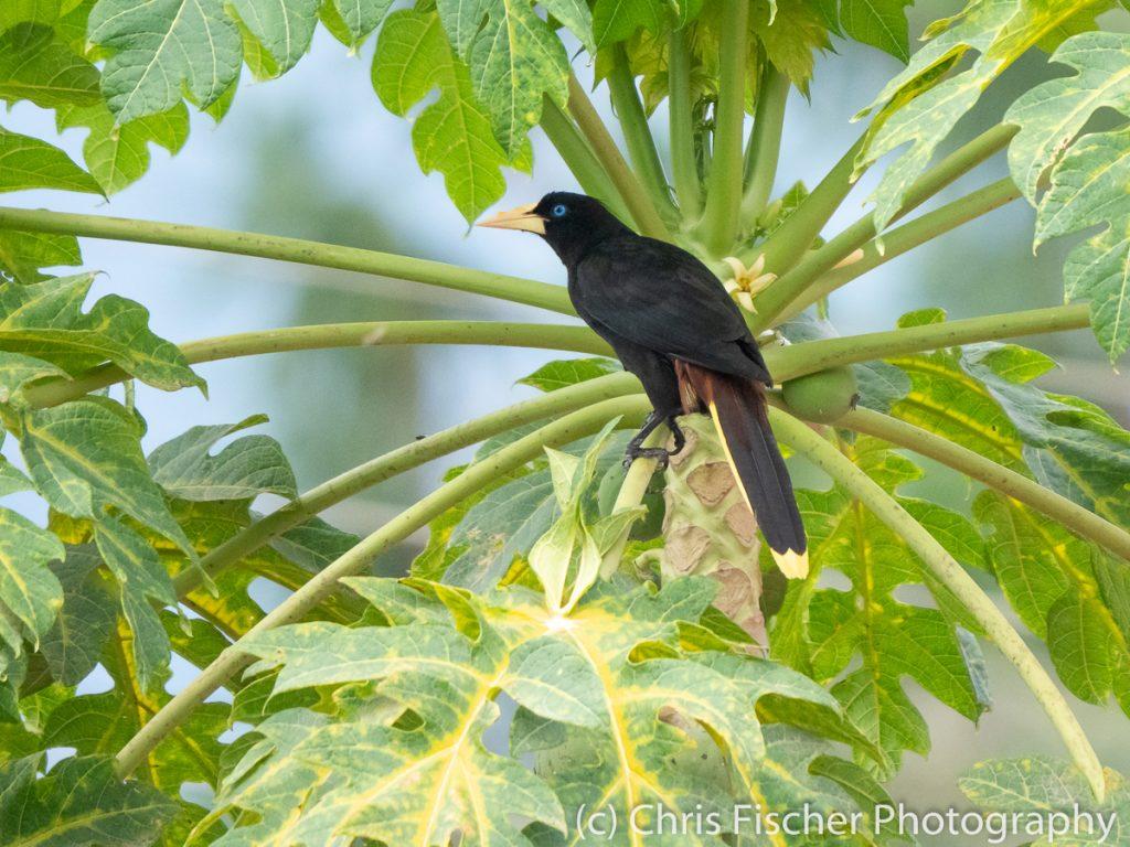 Crested Oropendola, Finca 54, Costa Rica