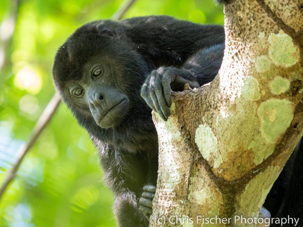 Mantled Howler Monkey, Nicoya Penninsula, Costa Rica