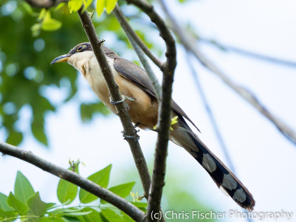 Mangrove Cuckoo, Coto 47 (Colorado River area), Costa Rica