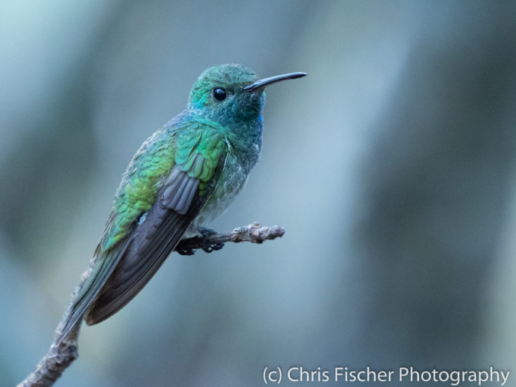 Mangrove Hummingbird, near Santa Lucia, Costa Rica