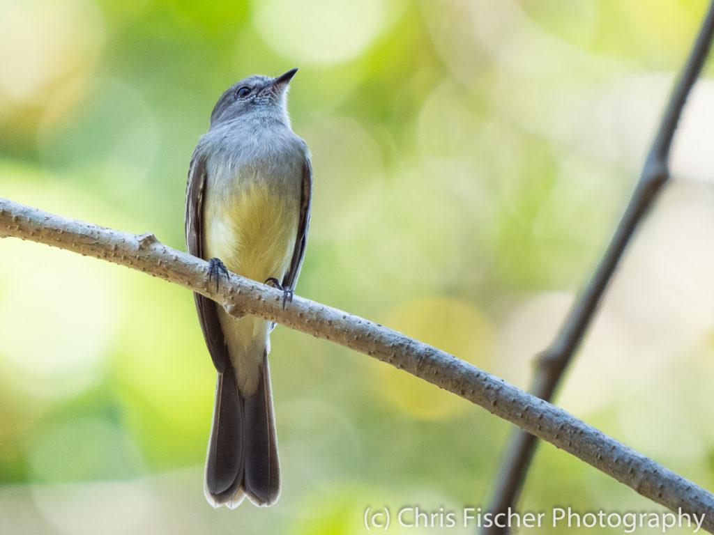 Northern Scrub-Flycatcher, Río Panica, Costa Rica