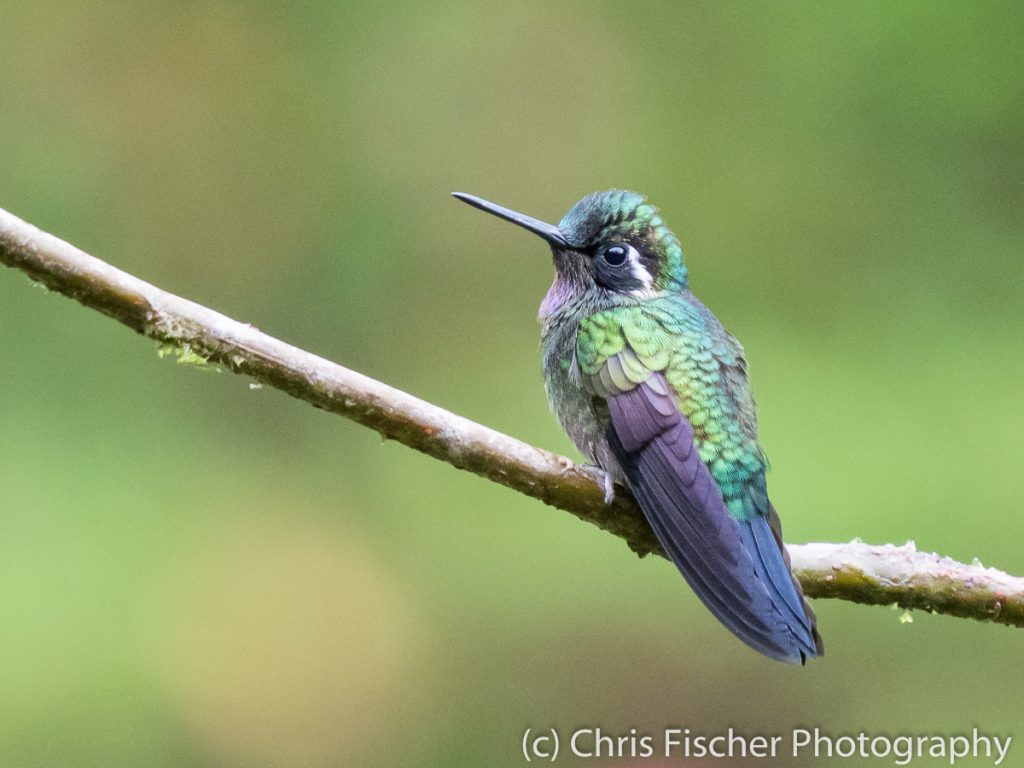 Purple-throated Mountain-Gem, Hotel Quelitales, Costa Rica