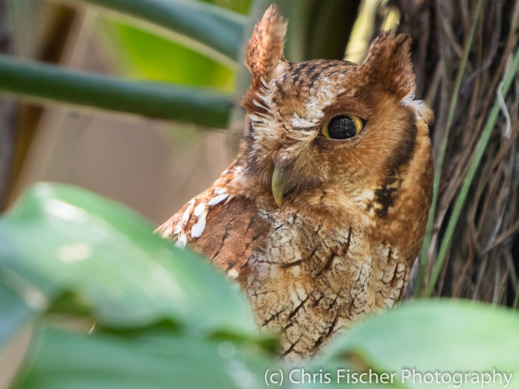 Tropical Screech-Owl, near Finca 54, Costa Rica