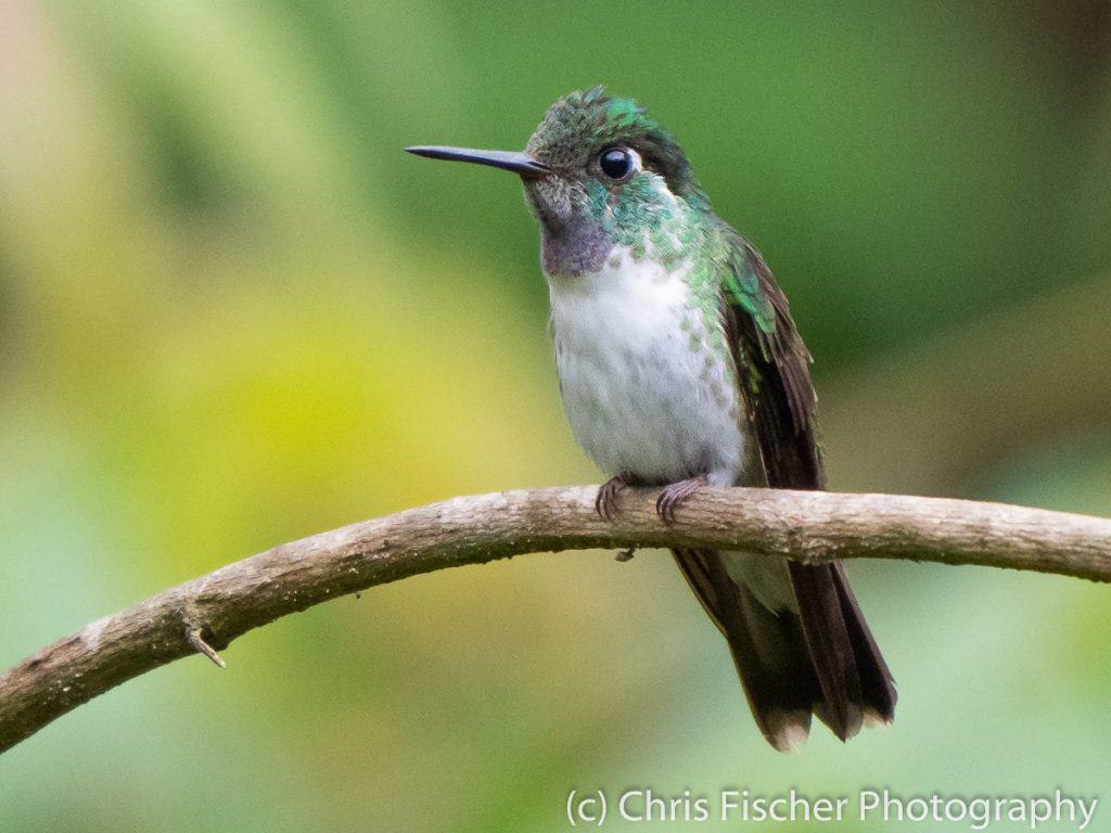 White-bellied Mountain-Gem, Hotel Quelitales, Costa Rica