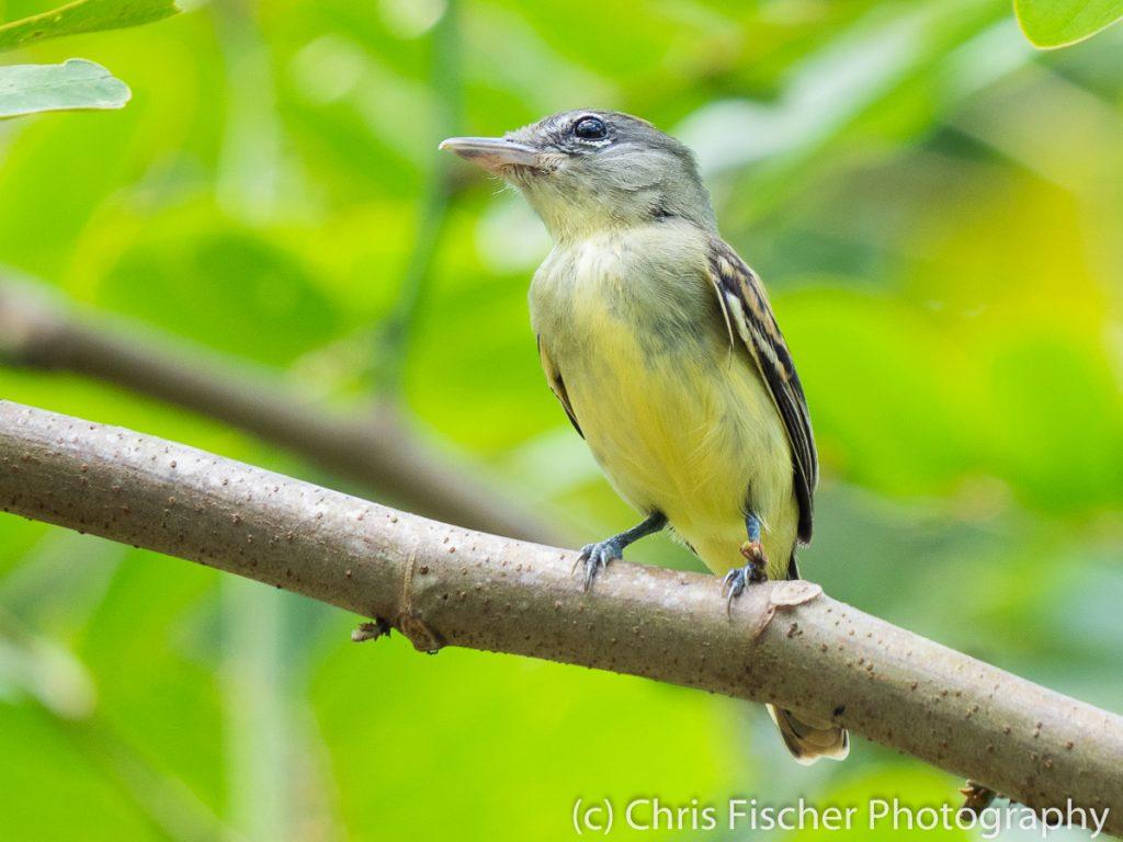 White-winged Becard, Coto 47 (Colorado River area), Costa Rica