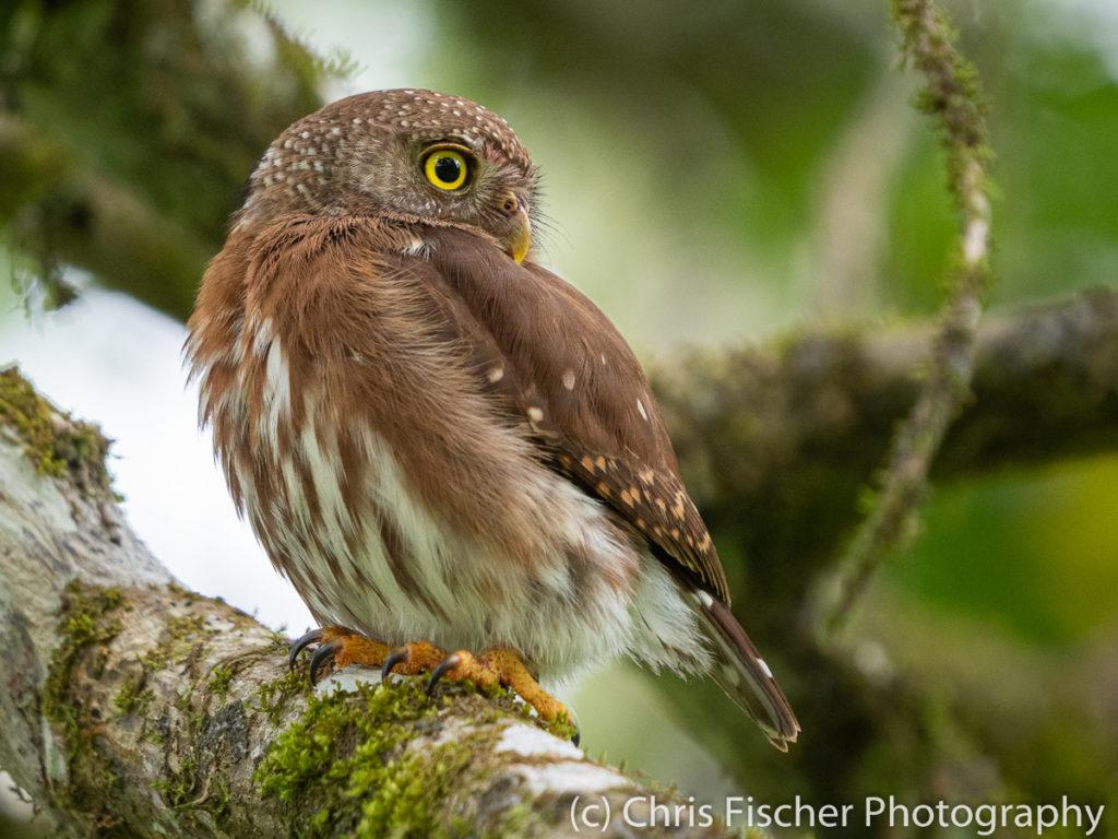 Central American Pygmy-Owl, Selva Bananito Lodge, Costa Rica