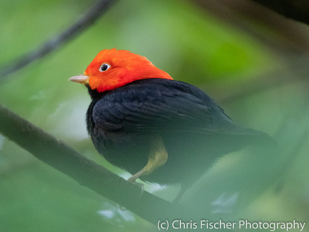 Red-capped Manakin, Selva Verde Lodge, Sarapiquí, Costa Rica