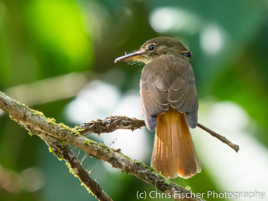 Royal Flycatcher, Selva Bananito Lodge, Costa Rica