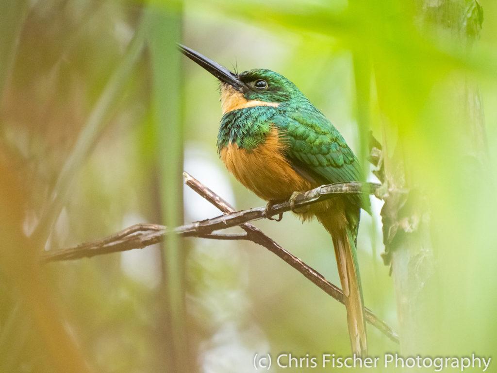 Rufous-tailed Jacamar, Selva Verde Lodge, Sarapiquí, Costa Rica
