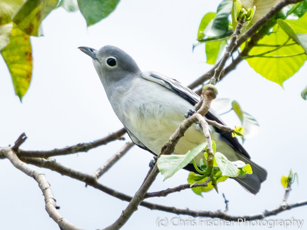 Snowy Cotinga (female), Selva Bananito Lodge, Costa Rica