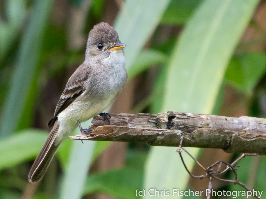Tropical Pewee, Selva Bananito Lodge, Costa Rica