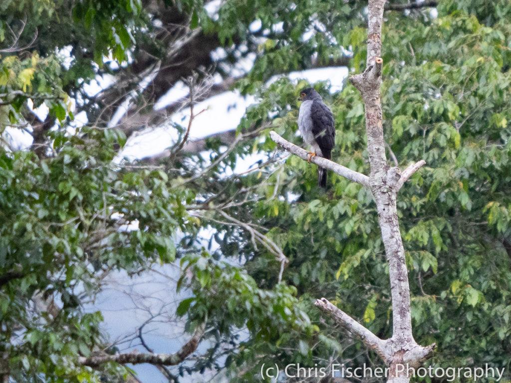 Bicolored Hawk, Rancho Naturalista, Costa Rica