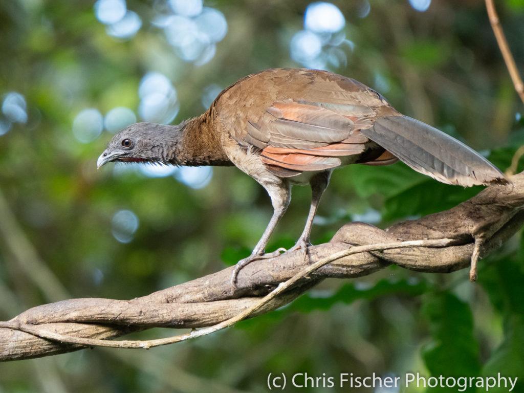 Gray-headed Chachalaca, Rancho Naturalista, Costa Rica