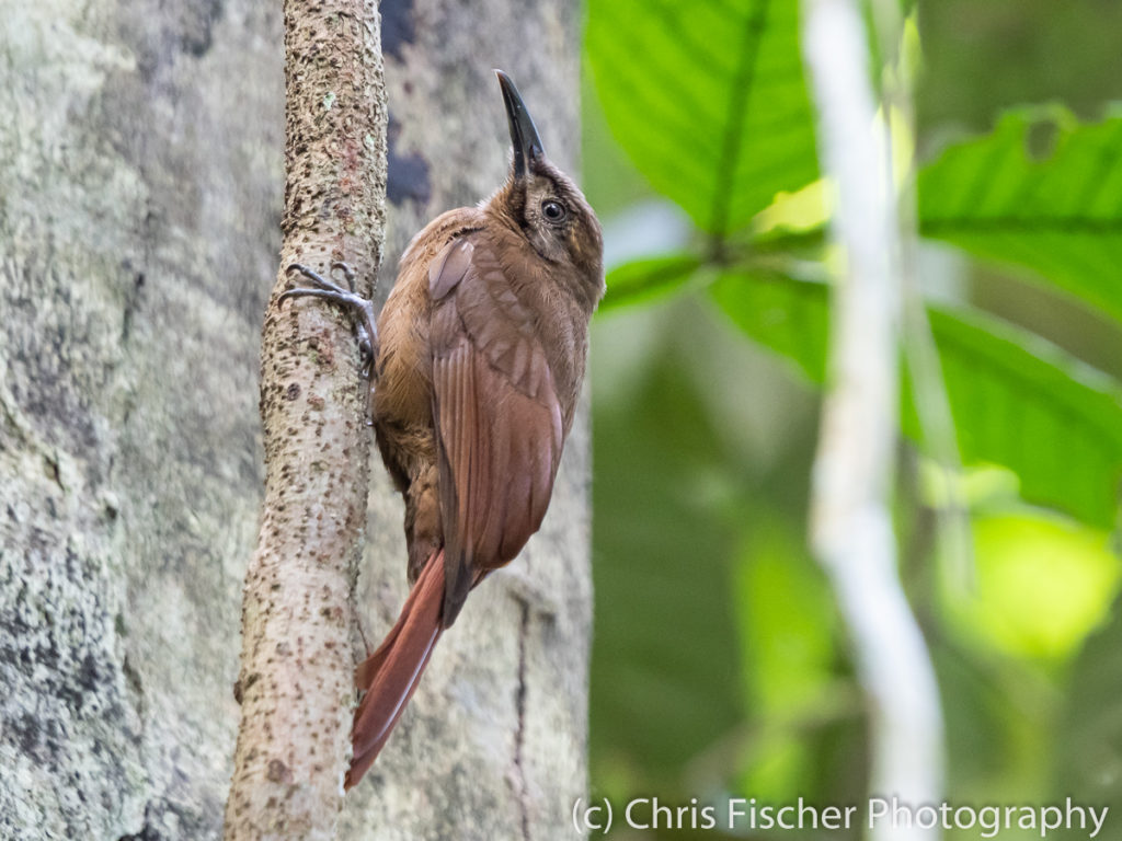 Plain-brown Woodcreeper, Rancho Naturalista, Costa Rica