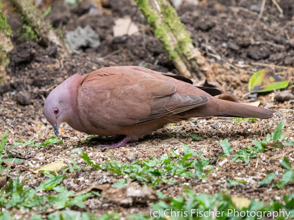 Ruddy Pigeon, Rancho Naturalista, Costa Rica