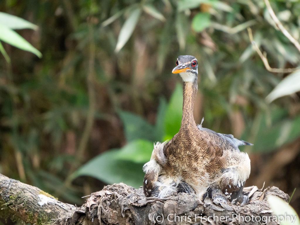 Sunbittern on nest, Plantanillo (near Rancho Naturalista), Costa Rica