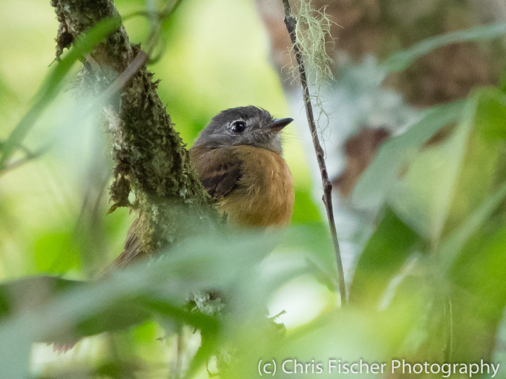 Tawny-chested Flycatcher, Rancho Naturalista, Costa Rica