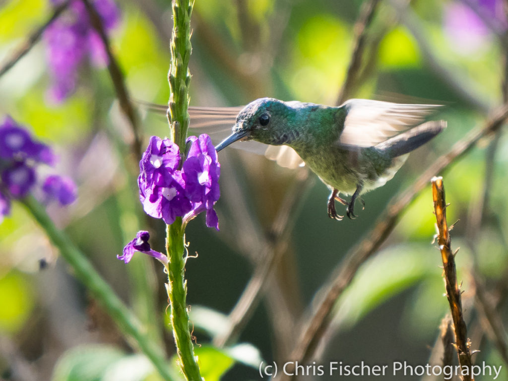 Charming Hummingbird, Macaw Lodge, Costa Rica
