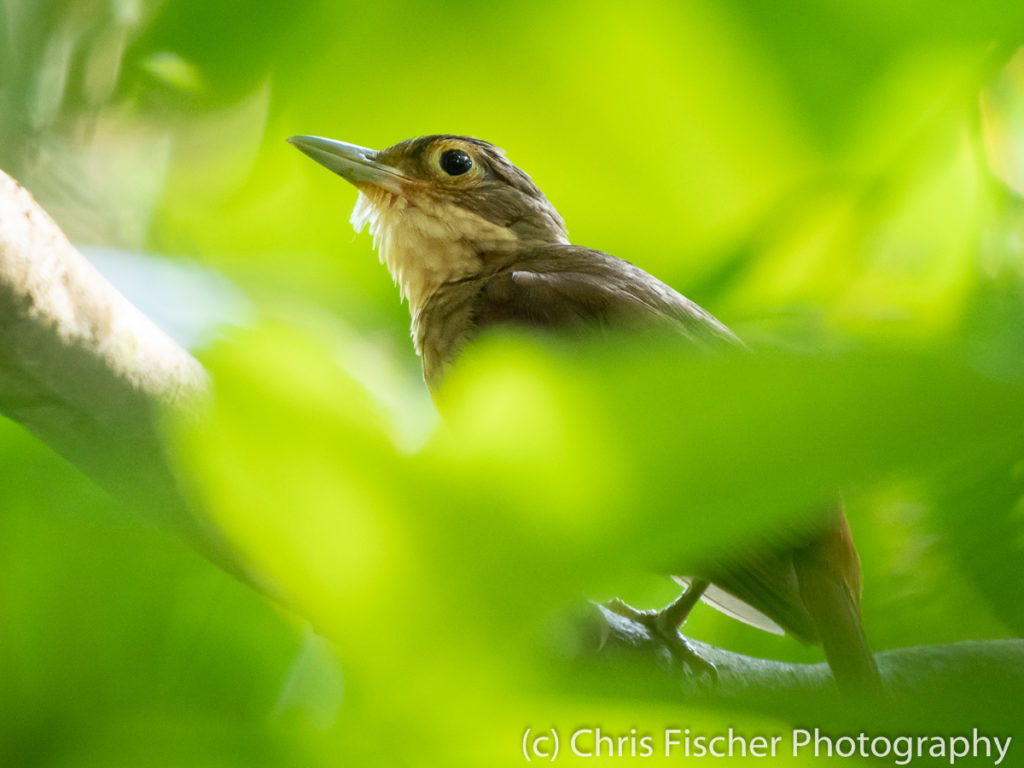 Chiriqui Foliage-gleaner, Macaw Lodge, Costa Rica