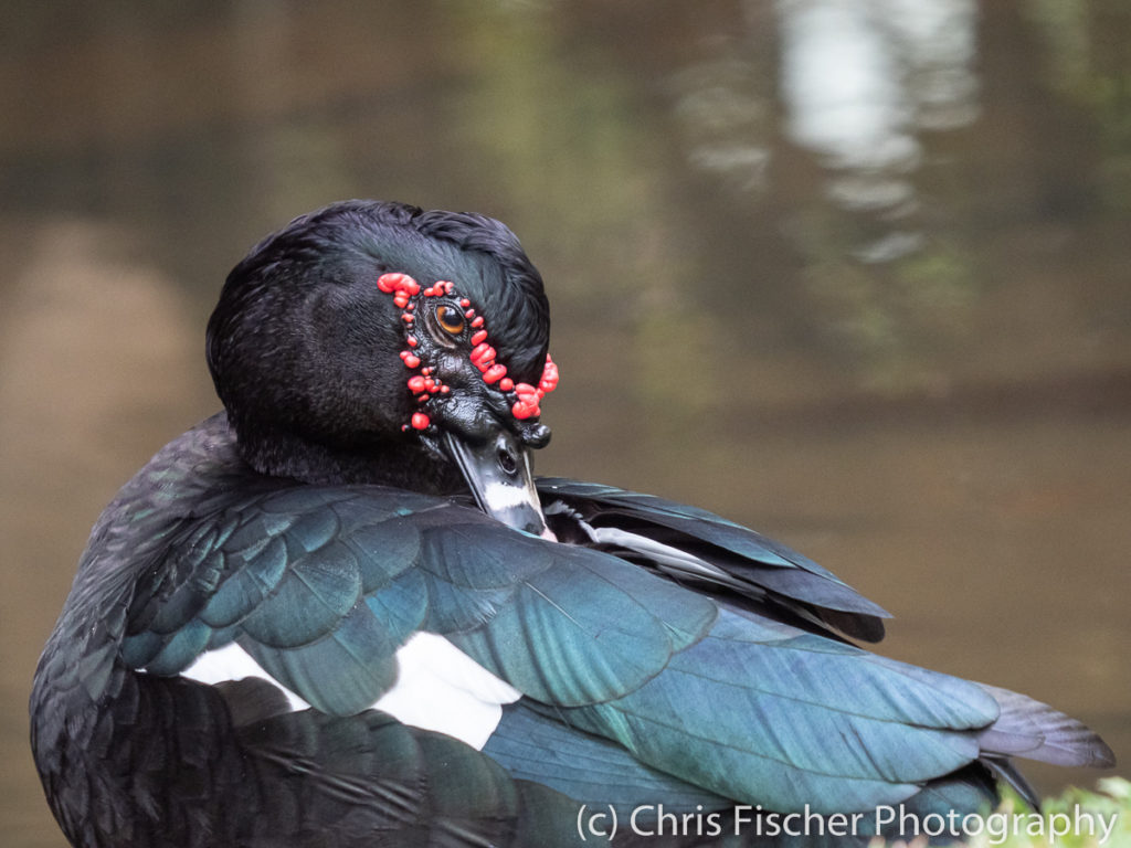 Muscovy Duck, Macaw Lodge, Costa Rica